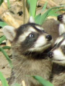 Mother and 6 Baby Raccoons in Field