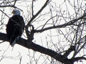 Eagle Photos from Pam Clark (Jan. 31, 2018)