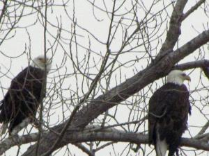 Winter Photos -- Bald Eagles, Turkeys and More