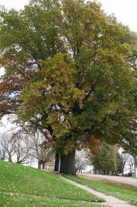 Closeup of huge tree in Pierson yard