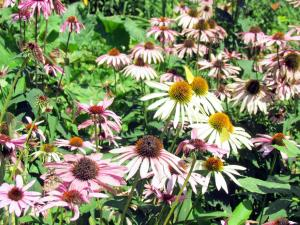 Coneflowers and yellow butterflies