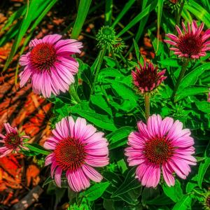 Coneflowers dreamscaped