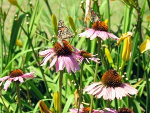 Coneflowers with Painted Lady Butterflies on them