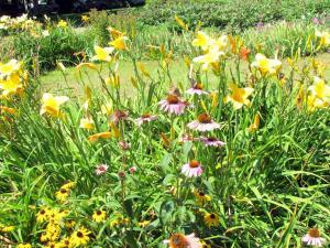 Daylillies and Coneflowers