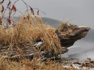 Driftwood on the edge of Midway's pond