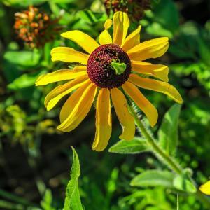 Green bug on a wildflower