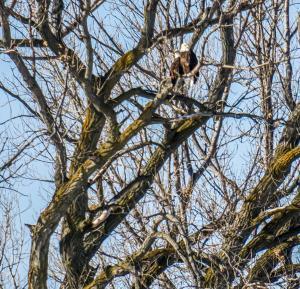 Kingsley pair of eagles