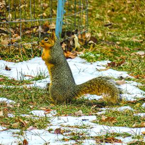 Squirrel - fixed