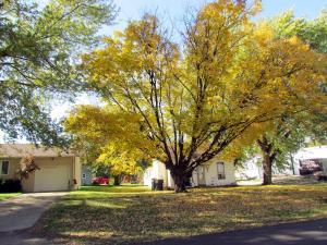 yellow tree in Kingsley